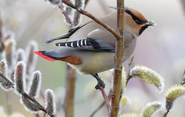 Свиристель-птица-Описание-особенности-виды-фото-и-среда-обитания-10
