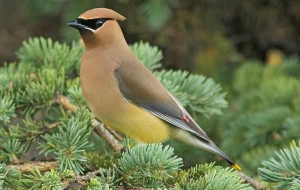 Свиристель-птица-Описание-особенности-виды-фото-и-среда-обитания-11