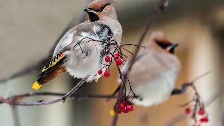 Свиристель птица. Описание, особенности, виды, фото и среда обитания