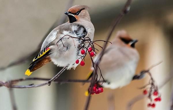 Свиристель-птица-Описание-особенности-виды-фото-и-среда-обитания-2