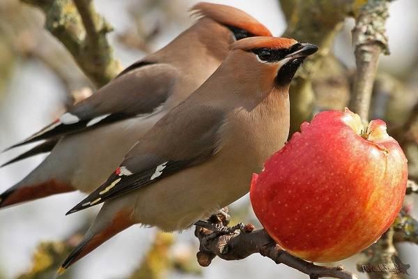 Свиристель-птица-Описание-особенности-виды-фото-и-среда-обитания-3