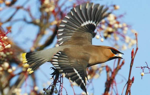 Свиристель-птица-Описание-особенности-виды-фото-и-среда-обитания-4