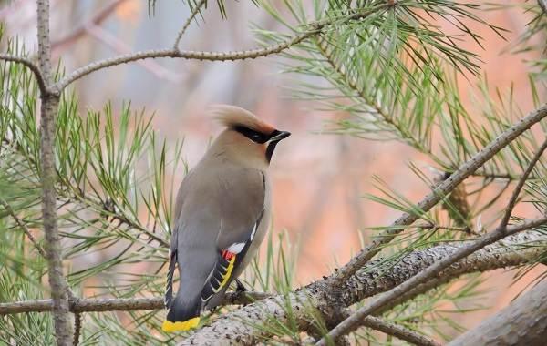 Свиристель-птица-Описание-особенности-виды-фото-и-среда-обитания-5