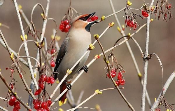 Свиристель-птица-Описание-особенности-виды-фото-и-среда-обитания-6