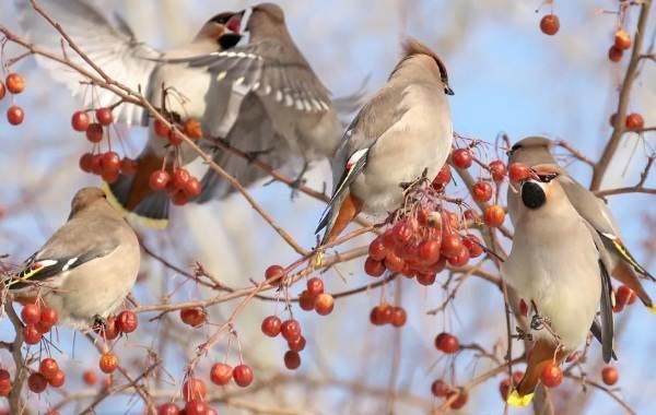 Свиристель-птица-Описание-особенности-виды-фото-и-среда-обитания-7