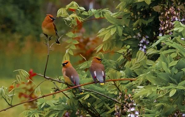 Свиристель-птица-Описание-особенности-виды-фото-и-среда-обитания-9