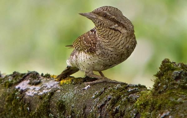Вертишейка-птица-Описание-особенности-виды-фото-и-среда-обитания-1
