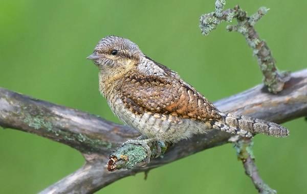 Вертишейка-птица-Описание-особенности-виды-фото-и-среда-обитания-2
