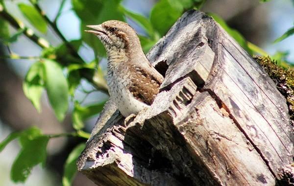 Вертишейка-птица-Описание-особенности-виды-фото-и-среда-обитания-3