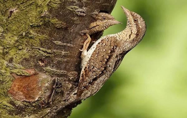 Вертишейка-птица-Описание-особенности-виды-фото-и-среда-обитания-4