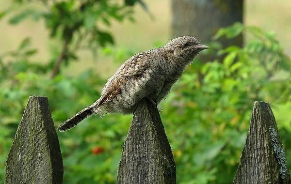 Вертишейка-птица-Описание-особенности-виды-фото-и-среда-обитания-5
