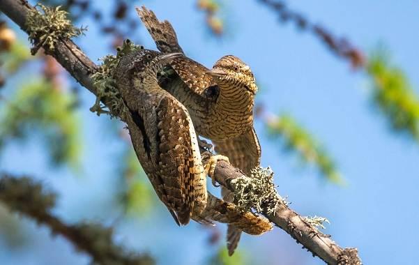 Вертишейка-птица-Описание-особенности-виды-фото-и-среда-обитания-6