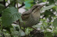 Вертишейка птица. Описание, особенности, виды, фото и среда обитания