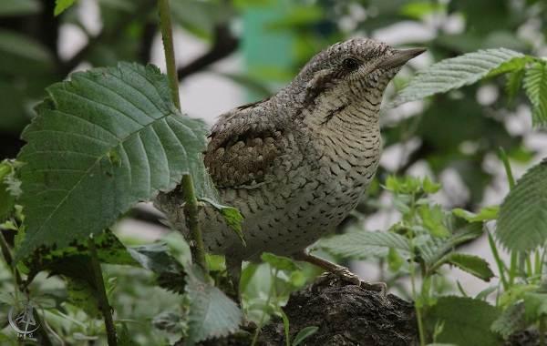 Вертишейка-птица-Описание-особенности-виды-фото-и-среда-обитания-7