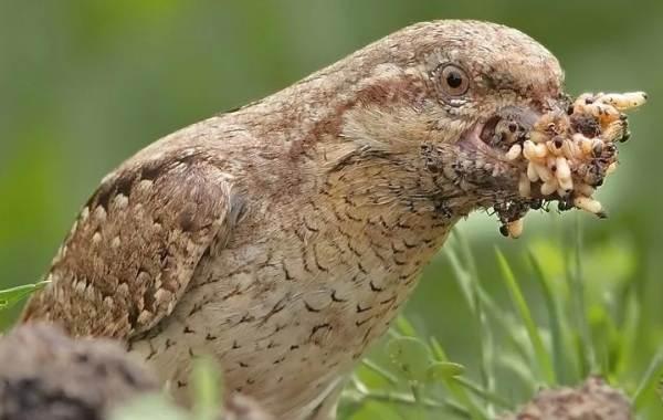 Вертишейка-птица-Описание-особенности-виды-фото-и-среда-обитания-8