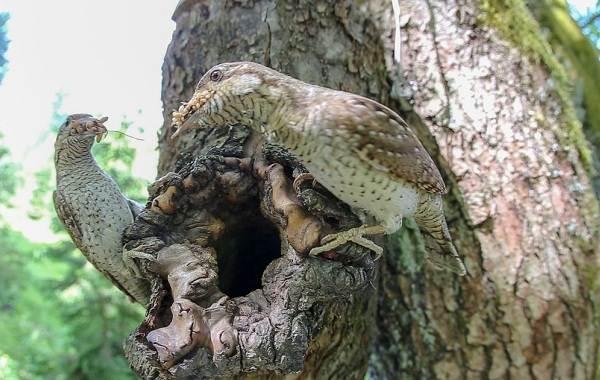 Вертишейка-птица-Описание-особенности-виды-фото-и-среда-обитания-9