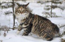 Курильский бобтейл порода кошек. Описание, характер, уход и содержание