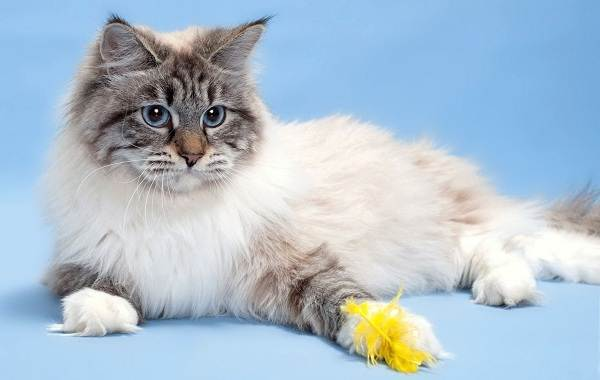 Невская-маскарадная-кошка-Описание-характер-уход-и-цена-породы-1