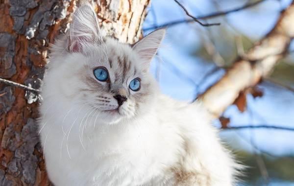 Невская-маскарадная-кошка-Описание-характер-уход-и-цена-породы-10