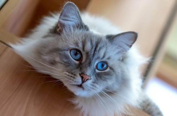 Невская-маскарадная-кошка-Описание-характер-уход-и-цена-породы-11