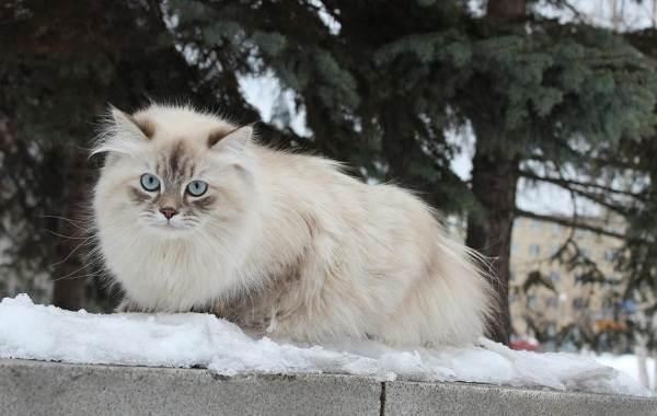 Невская-маскарадная-кошка-Описание-характер-уход-и-цена-породы-12
