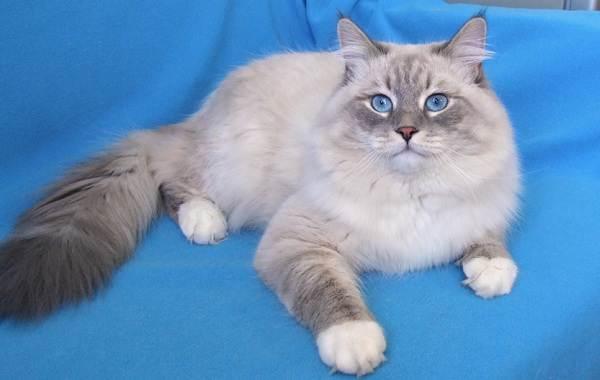 Невская-маскарадная-кошка-Описание-характер-уход-и-цена-породы-2