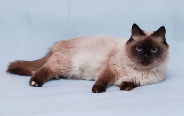Невская-маскарадная-кошка-Описание-характер-уход-и-цена-породы-5