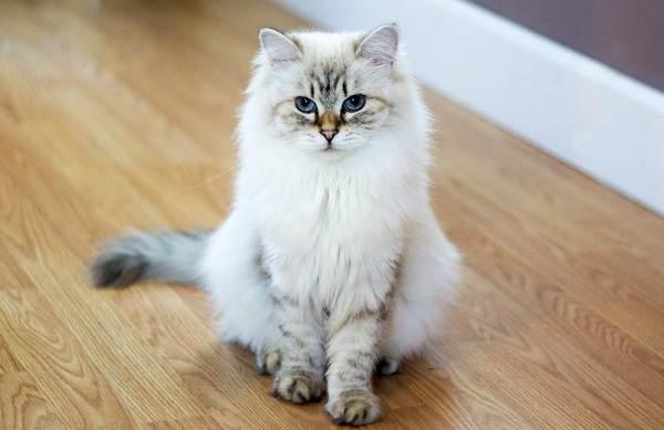 Невская-маскарадная-кошка-Описание-характер-уход-и-цена-породы-6