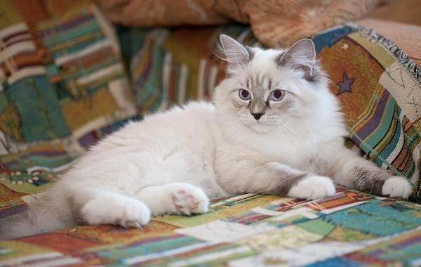 Невская-маскарадная-кошка-Описание-характер-уход-и-цена-породы-7