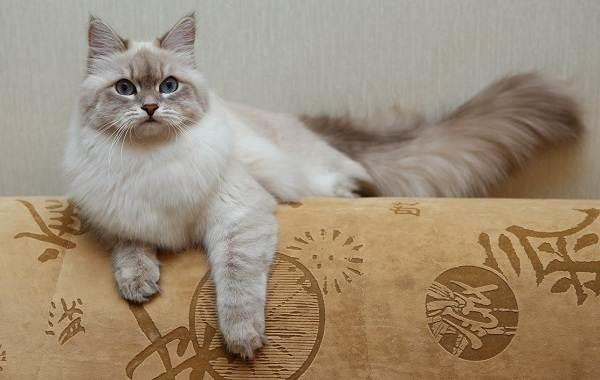 Невская-маскарадная-кошка-Описание-характер-уход-и-цена-породы-8