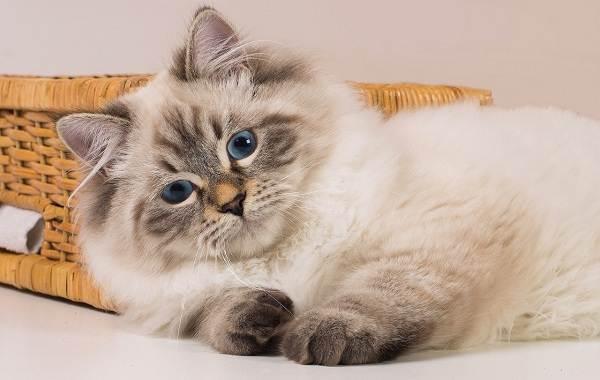 Невская-маскарадная-кошка-Описание-характер-уход-и-цена-породы-9