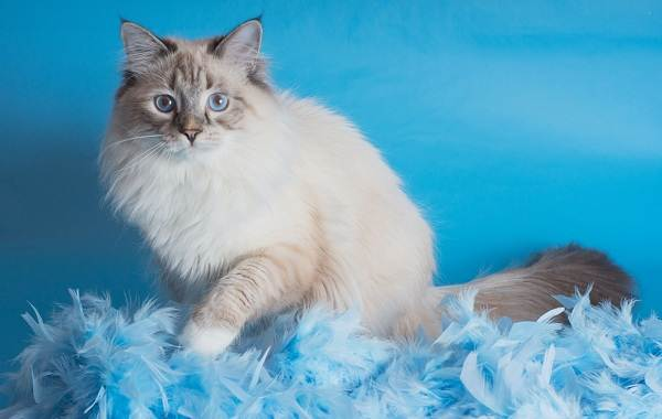 Невская-маскарадная-кошка-Описание-характер-уход-и-цена-породы