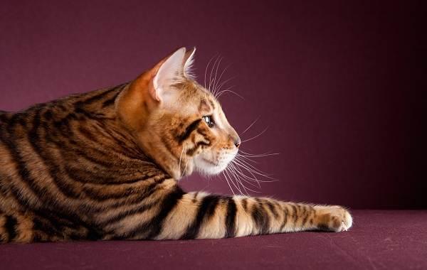 Тойгер-кошка-Описание-характер-уход-цена-и-фото-породы-1