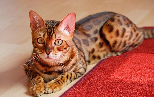 Тойгер-кошка-Описание-характер-уход-цена-и-фото-породы-11