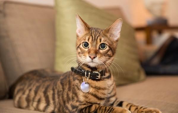 Тойгер-кошка-Описание-характер-уход-цена-и-фото-породы-2