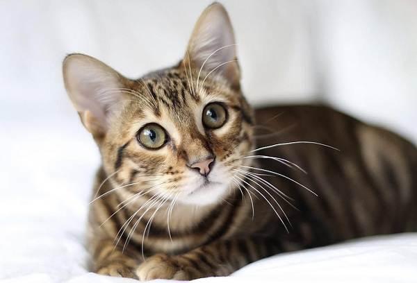 Тойгер-кошка-Описание-характер-уход-цена-и-фото-породы-4