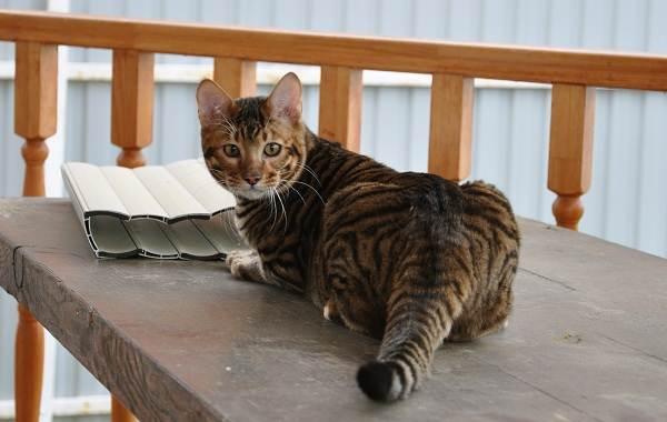 Тойгер-кошка-Описание-характер-уход-цена-и-фото-породы-5
