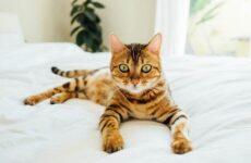 Тойгер кошка. Описание, характер, уход, цена и фото породы