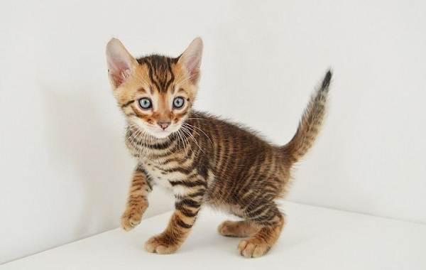 Тойгер-кошка-Описание-характер-уход-цена-и-фото-породы-8