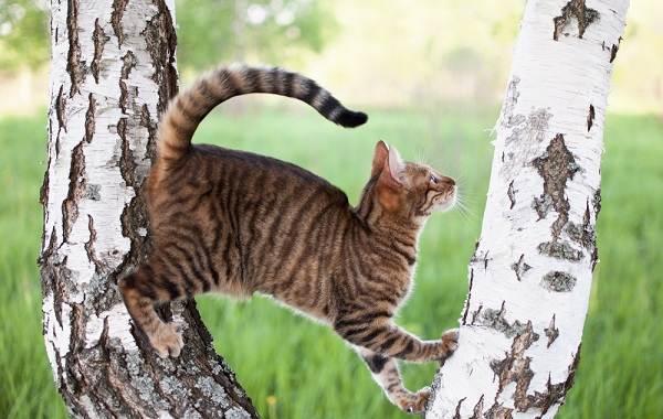 Тойгер-кошка-Описание-характер-уход-цена-и-фото-породы-9