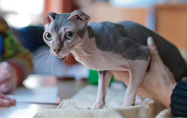 Украинский-левкой-кошка-Описание-особенности-уход-цена-и-фото-породы-10