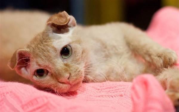 Украинский-левкой-кошка-Описание-особенности-уход-цена-и-фото-породы-12