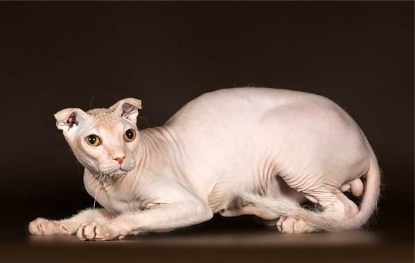 Украинский-левкой-кошка-Описание-особенности-уход-цена-и-фото-породы-2