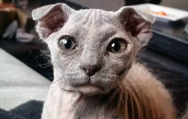 Украинский-левкой-кошка-Описание-особенности-уход-цена-и-фото-породы-3
