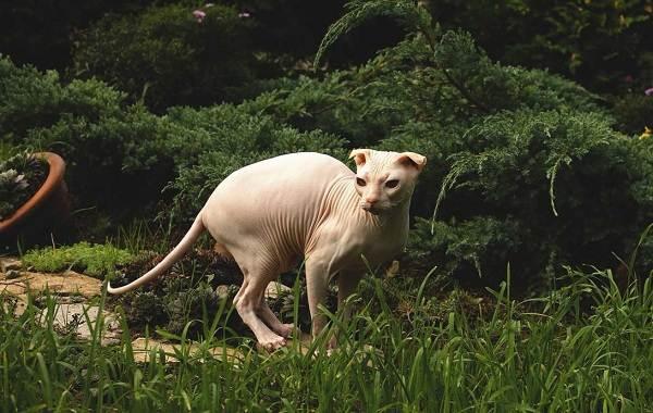 Украинский-левкой-кошка-Описание-особенности-уход-цена-и-фото-породы-5
