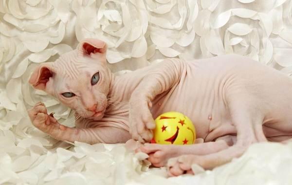 Украинский-левкой-кошка-Описание-особенности-уход-цена-и-фото-породы-7