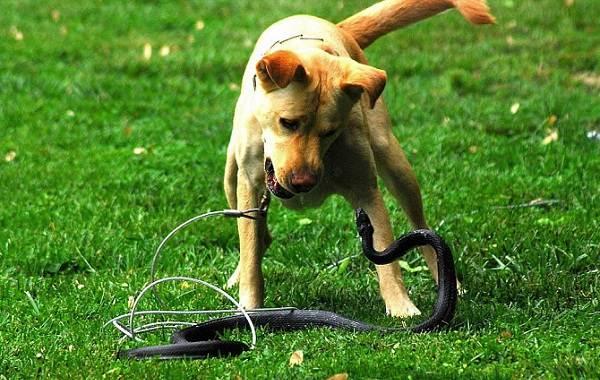 Что-делать-если-собаку-укусила-змея-3