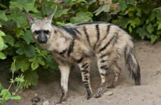 Земляной волк, его особенности, образ жизни и среда обитания