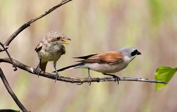 Сорокопут-птица-её-особенности-образ-жизни-и-среда-обитания-10