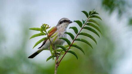 Сорокопут птица, её особенности, образ жизни и среда обитания